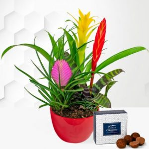Bromelia Plant - Free Chocs - Plant Gifts - Plant Gift Delivery - Birthday Gifts - Indoor Plants - Birthday Gift Delivery